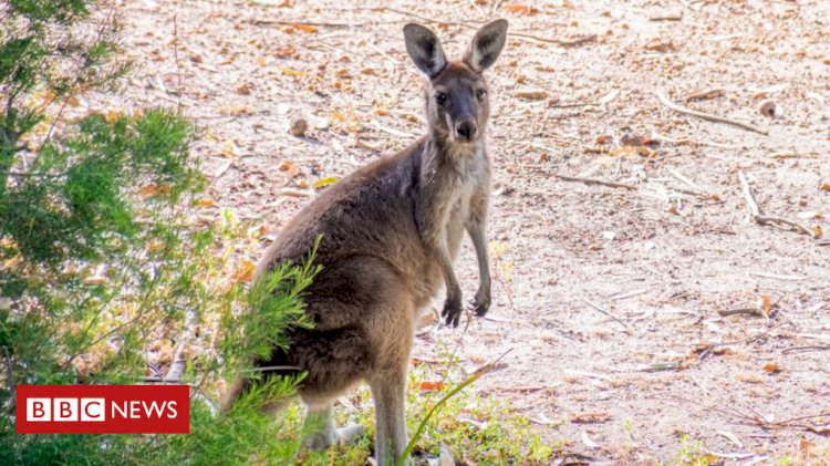 Wolf 'snatches pet kangaroo' from Belgium home